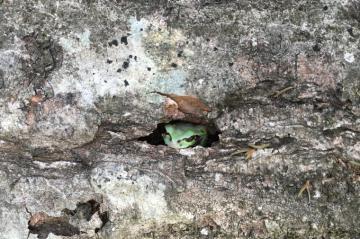 仙人のようなカエル